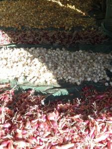 La récolte d'oignons 2013